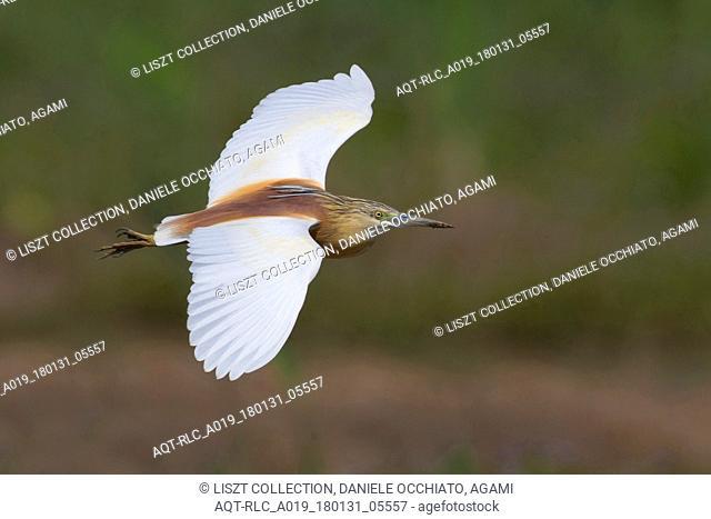summer plumage Squacco heron in flight