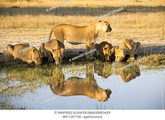 Several lionesses (Panthera leo) drinking at the waterhole, Moremi National Park, Moremi Wildlife Reserve, Okavango Delta, Botswana, Africa