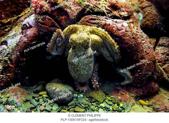 Common octopus (Octopus vulgaris) in aquarium at Oceanopolis - ocean discovery park - at Brest, Brittany, France