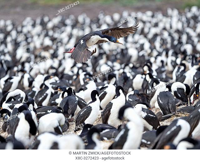 Landing in a huge colony. Imperial Shag also called King Shag, blue-eyed Shag, blue-eyed Cormorant (Phalacrocorax atriceps or Leucarbo atriceps)