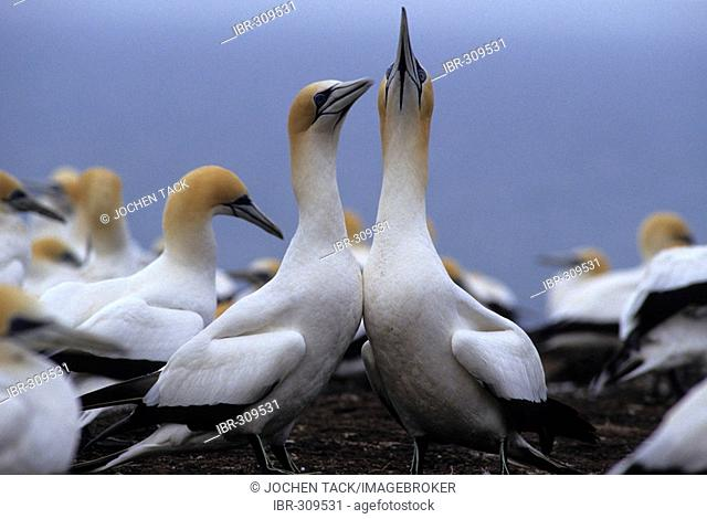 Northern gannet (Morus bassanus) colony, Cape Kidnappers, North Island, New Zealand