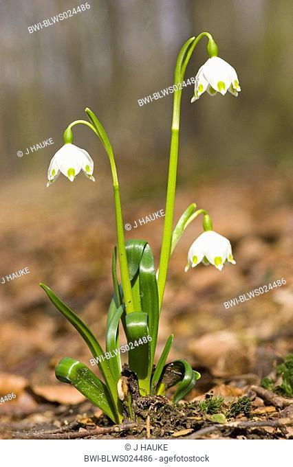 spring snowflake Leucojum vernum, blooming, Germany, Lower Saxony