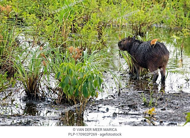 Capybara (Hydrochoerus hydrochaeris) with pale-legged hornero (Furnarius leucopus) feeding on its back in swamp, Pampas del Yacuma in Bolivia