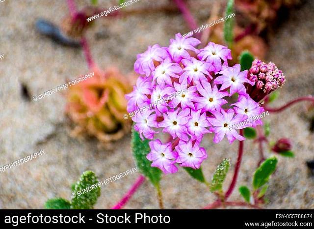 Pink Sand Verbena (Abronia umbellata) wildflowers blooming on the coast of the Pacific Ocean, Santa Cruz, California