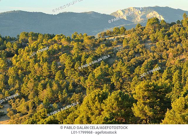 Pine forest. Sierras de Cazorla, Segura y las Villas Natural Park Jaén