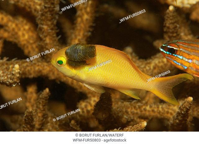 Isopod Parasit on Lyretail Anthia, Nerocila acuminata, Alor, Lesser Sunda Islands, Indo-Pacific, Indonesia