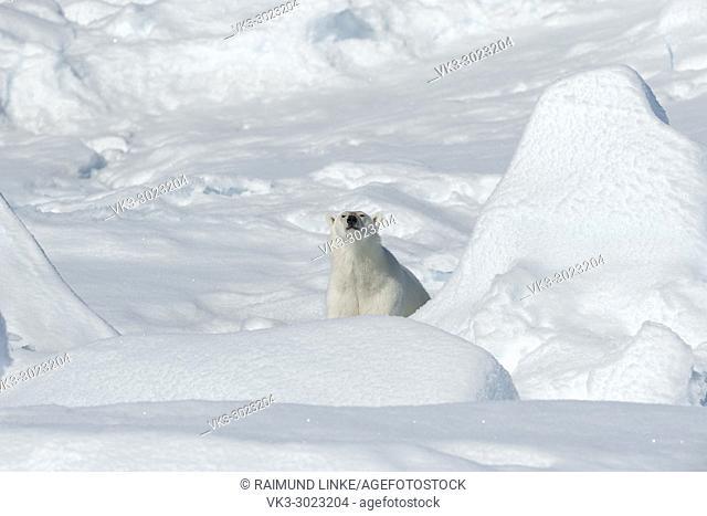 Polar Bear, Ursus maritimus, North East Greenland Coast, Greenland, Arctic