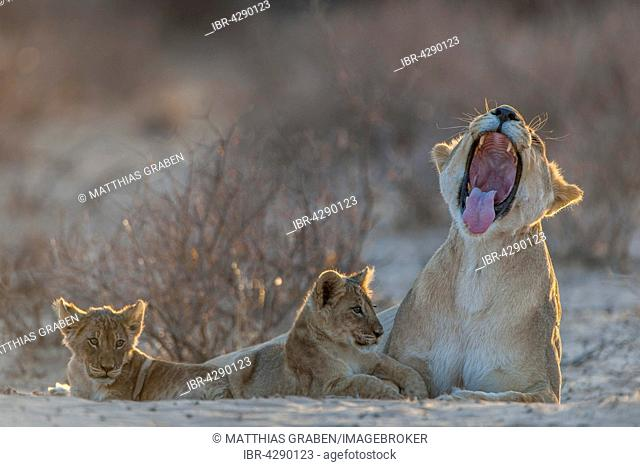 Lioness (Panthera leo) with two cubs, yawning, Kgalagadi Transfrontier Park, Northern Cape, South Africa