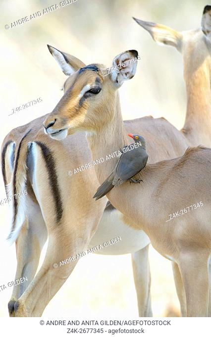 Red-billed oxpecker (Buphagus erythrorhyncus) on impala (Aepyceros melampus), Kruger National Park, South Africa