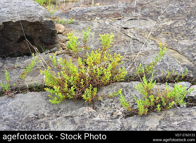 Rock tea (Chiliadenus glutinosus or Jasonia glutinosa) is a medicinal perennial herb native to Spain, southern France and Morocco
