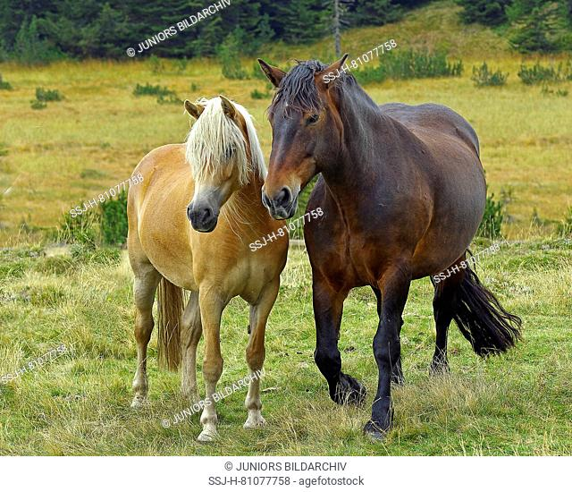 Italian Heavy Draft, Rapid Heavy Draft and Haflinger Horse. Two horses on a bog meadow, standing next to each other. Sextner Dolomites Natural Park, South Tyrol