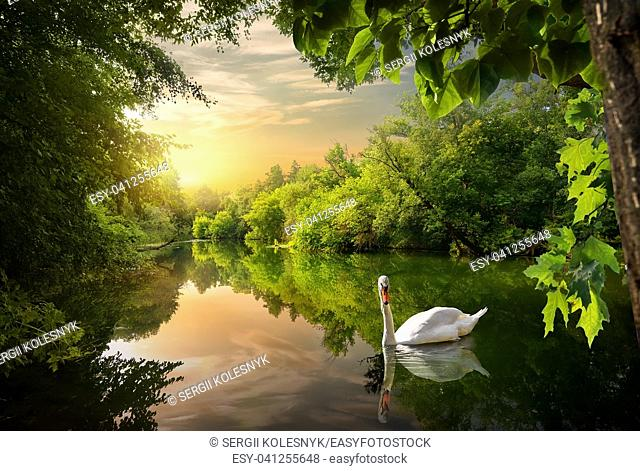 Evening on the river in the forest and swan