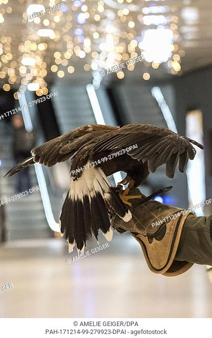 """Falconer Guenther Rau holds his Harris' Hawk """"""""Hillary"""""""" at the Stachus arcades in Munich, Germany, 13 December 2017. The falconer Rau chases away pigeons from..."""