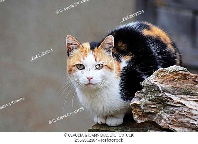 Calico cat sitting on a wall