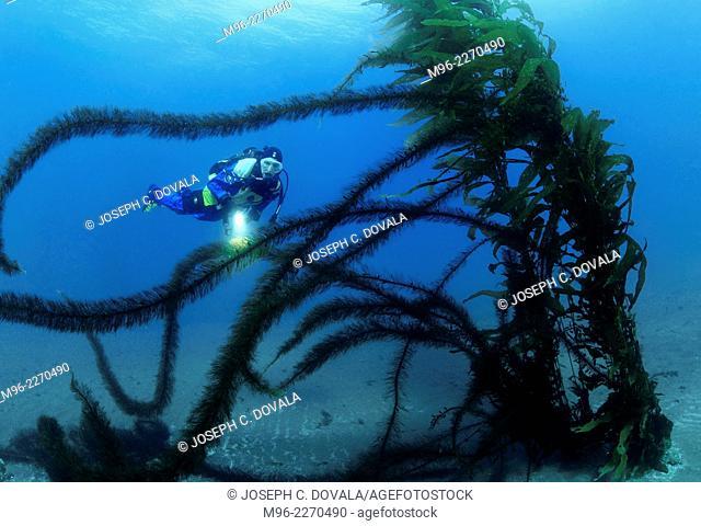 Scuba diver swiming by feather boa kelp, Anacapa Island, California, USA