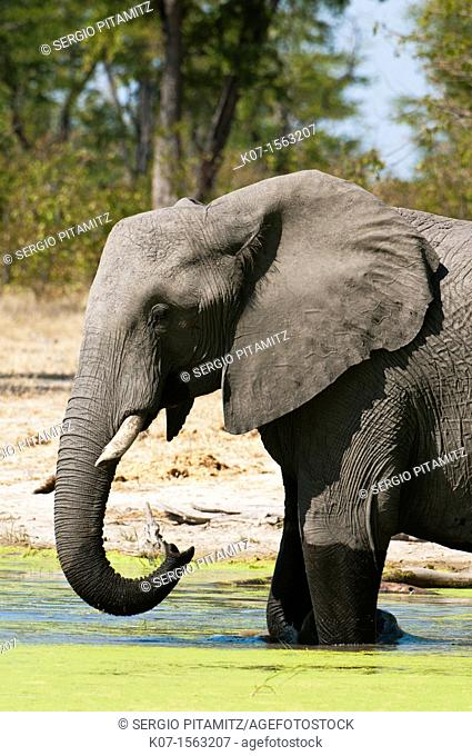 Elephant Loxodonta africana, Savute Channel, Linyanti, Botswana