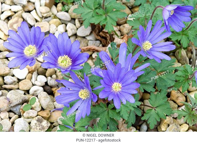 A small group of bright blue anemone flowers Anemone blanda 'Atrocaerulea' growing at the edge of a stony path in Houghton Hall gardens, Norfolk
