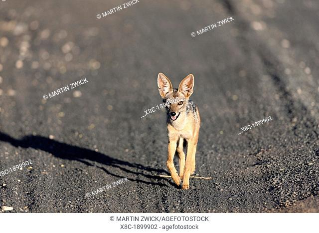 Black-backed Jackal Canis mesomelas in Tsavo West NP running on a dust road  Africa, East Africa, Kenya, December