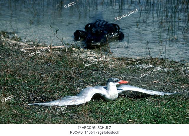 American Alligator and Caspian Tern Everglades national park Florida USA Alligator mississippiensis Sterna caspia Hydroprogne caspia