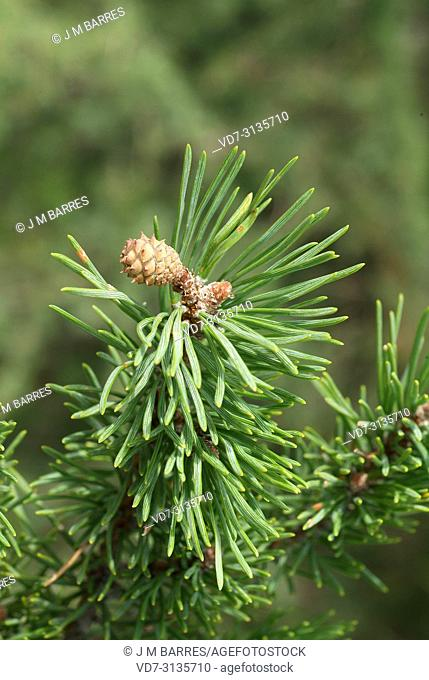 Pyreneean pine (Pinus nigra salzmannii) is a coniferous tree native to Spain, southern France and north Africa. Fertilized female flower detail