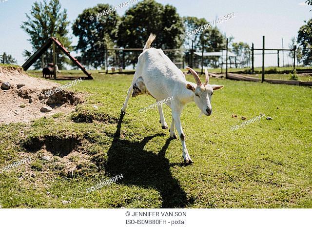 Goat walking in paddock