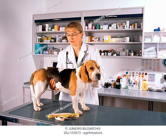 vet examining a dog