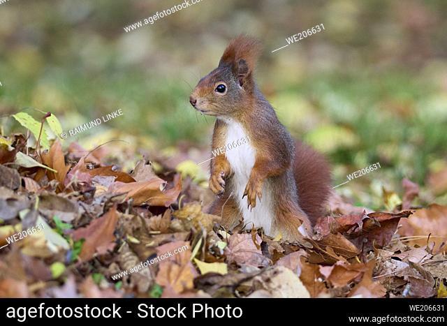 Red Squirrel, Sciurus vulgaris, in autumn