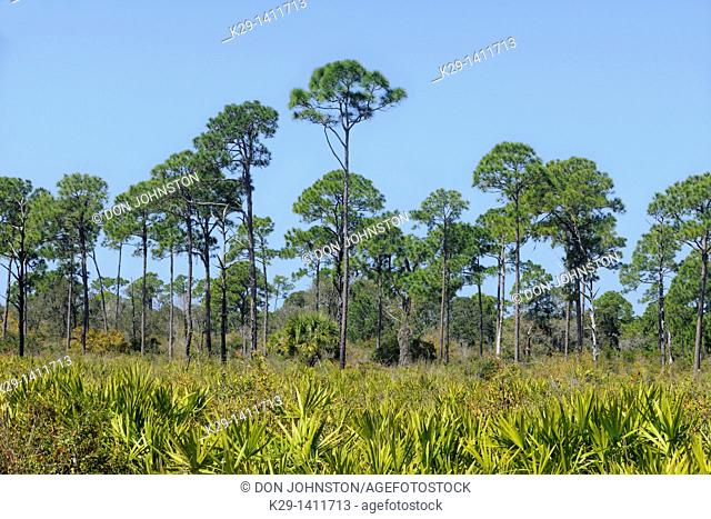 Pine trees and palmettos in pine flatwoods ecosystem