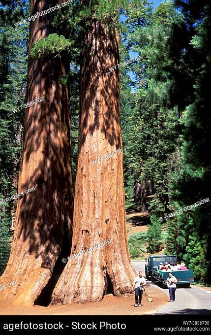 mariposa grove giant sequoia tree, yosemite national park, usa
