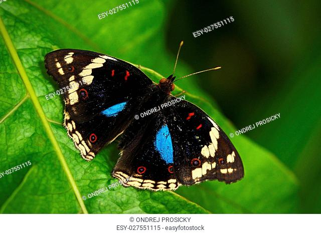 Beautiful butterfly Blue Pansy
