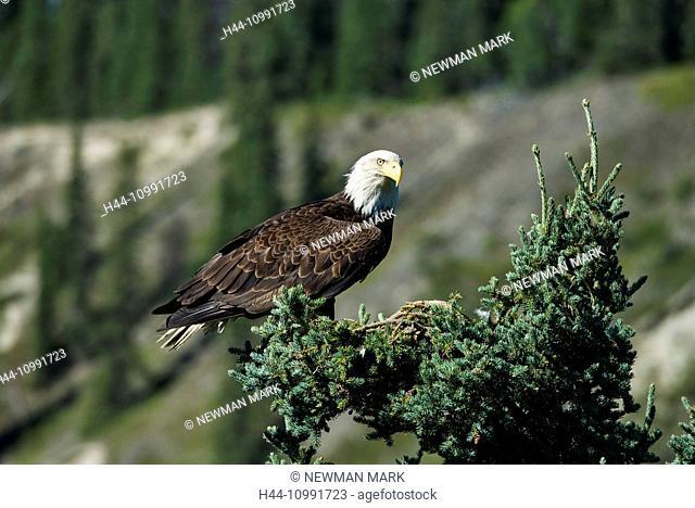 bald eagle, Haliaeetus leucocephalus, nesting, Yukon, Canada