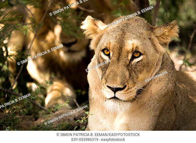 Lioness looking at the camera in the Kruger National Park, South Africa