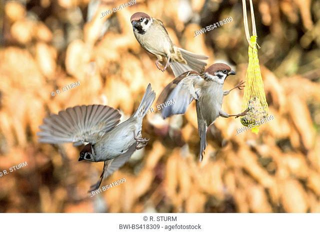 Eurasian tree sparrow (Passer montanus), quarreling about a fat ball, Germany, Bavaria, Niederbayern, Lower Bavaria