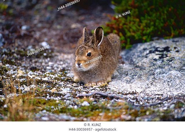 Mountain Hare, Lepus timidus, Leporidae, Hare, summer coat, mammal, animal, Norway