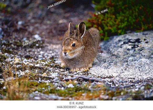 Mountain Hare, Lepus timidus, Leporidae, Hare, summer coat, mammal, animal, Norway