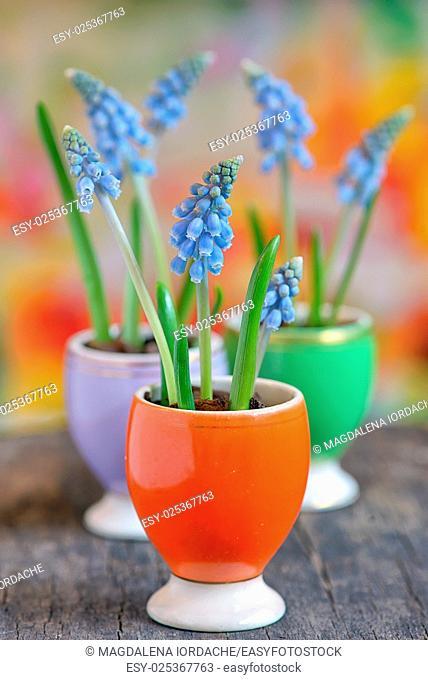 Muscari neglectum flowers in small vases