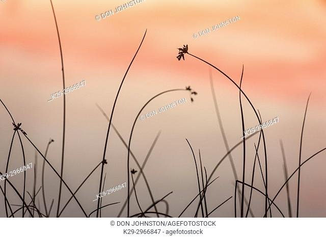 Reedbed along shore of Simon Lake at sunset, Greater Sudbury, Ontario, Canada