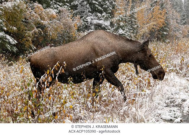 Cow Moose (Alces alces) crossing wet, icy highway in first snows of winter season. Alaska Hwy, Alaska