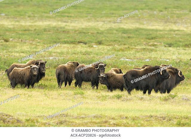 Muskox herd Ovibos moschatus on summer tundra, Whitefish Lake, Northwest Territories, Canada