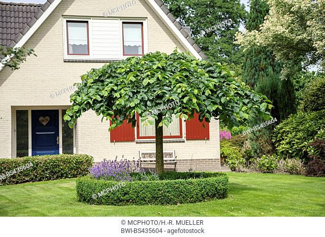 Scotch elm, Wych elm (Ulmus 'Camperdownii', Ulmus Camperdownii), cultivar Camperdownii, Germany