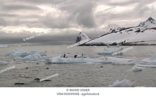 Gentoo penguins Pygoscelis papua on ice and in sea, scenic. Cuverville Island, Antarctic Peninsula
