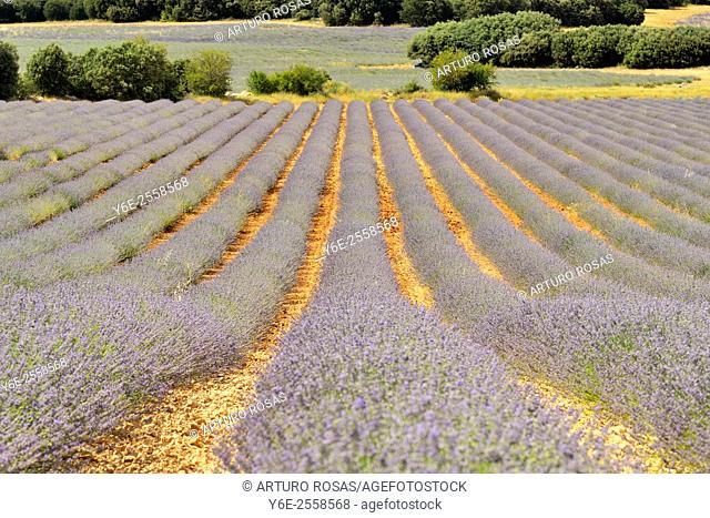 Lavender fields in Brihuega (Guadalajara), Spain