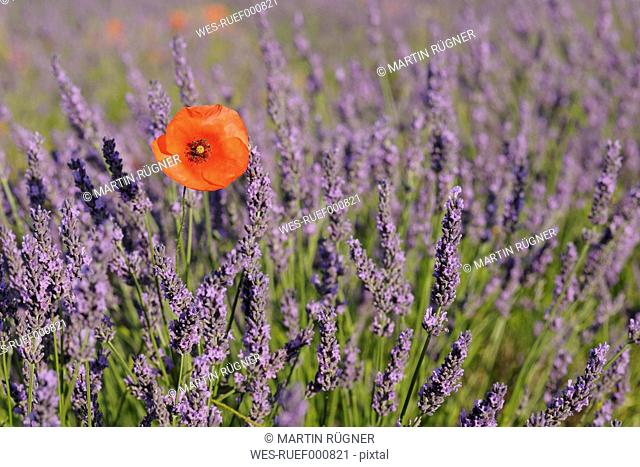 France, View of lavender field with poppy