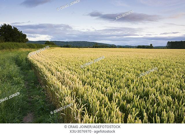 A wheat field in summer in Somerset, England