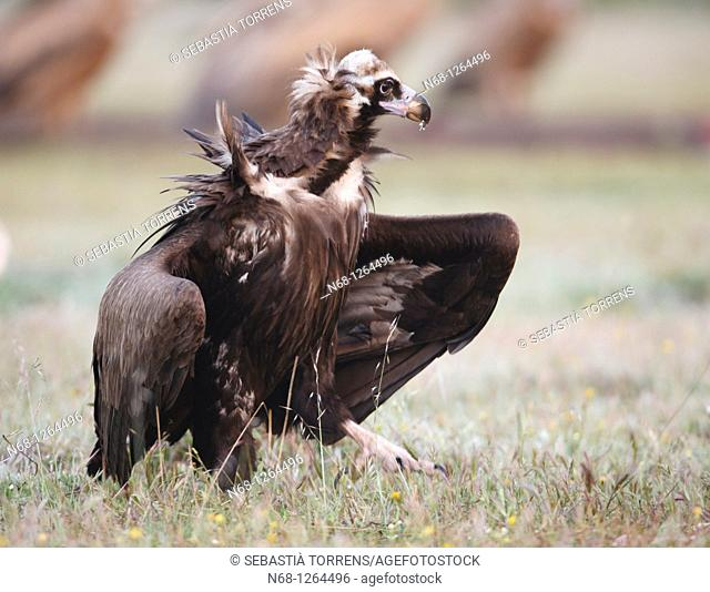 Black Vulture Aegypius monachus at Monfragüe, Caceres, Extremadura, Spain