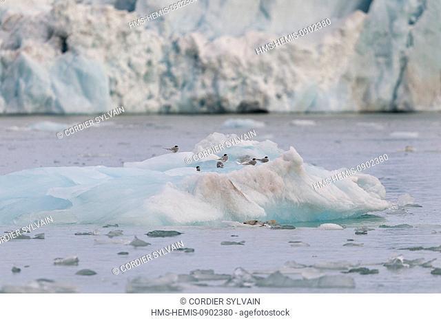 Norway, Svalbard, Spitsbergen, Arctic Tern (Sterna paradisaea), on a iceberg