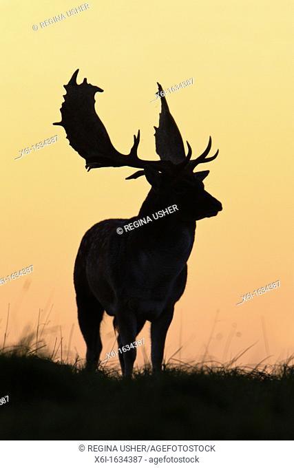 Fallow Deer Dama dama, Buck standing on Horizon at Dusk, during the Rut, Royal Deer Park, Klampenborg, Copenhagen, Sjaelland, Denmark