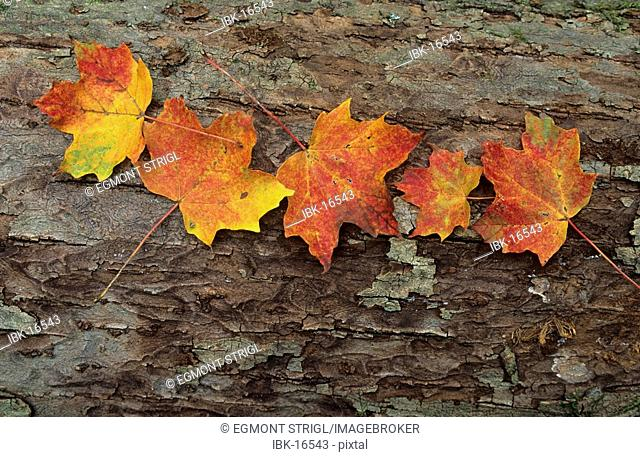 Maple leaves on a tree trunk, Great Smoky Mountains National Park, North Carolina, USA