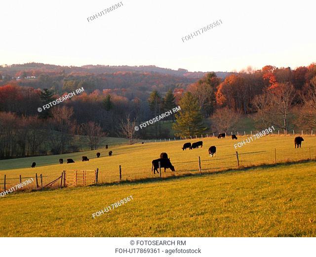 cows, pasture, farm, Blue Ridge Parkway, Virginia, VA