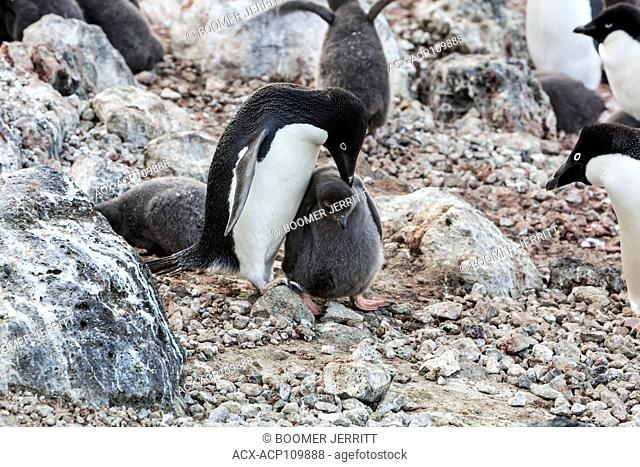 Adelie Penguins congregate to breed and raise their chicks on Paulet Island. Antarctic Peninsula